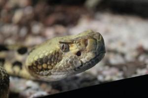 Bruselas prohíbe a Telefónica fichar a una serpiente de cascabel