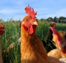 El Vaticano autorizará que sus sacerdotes abusen de pequeños animales de granja