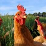 El Vaticano autoriza que los sacerdotes puedan abusar de pequeños animales de granja