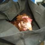 Intenta devolver la gallina que robó en 2010 y le caen otros cuatro años