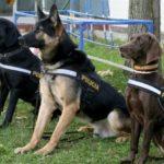 Perros adiestrados de la Policía Nacional se niegan a buscar las urnas del 1-O